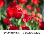 beautiful bouquet of tulips... | Shutterstock . vector #1103073329