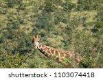 giraffe  giraffa  close up view ...   Shutterstock . vector #1103074418