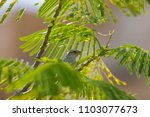 singing bird in the branches of ... | Shutterstock . vector #1103077673