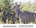 female kudu antelope  buck ... | Shutterstock . vector #1103121554