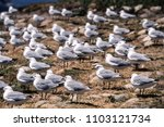 Small photo of Antarctic Fulmar (Fulmarus glacialoides), Hout Bay, Western Cape, South Africa