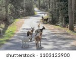 Small photo of Herd of goats with his sheepdog and shepherd on a mountain road in the national park of Peneda Geres, north of Portugal. These small herds have an important ecological function by eating burnable bush