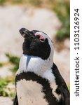 penguin at boulders beach ... | Shutterstock . vector #1103126924