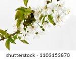 blooming cherry tree stock... | Shutterstock . vector #1103153870