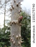 Small photo of The very spiky plant stem of the Kalopanax pictus, also known as Castor Aralia.