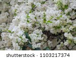 beautiful bougainvillea... | Shutterstock . vector #1103217374