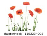 red poppy flowers in a row on... | Shutterstock . vector #1103234006