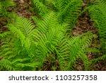 fern green plant woods forest... | Shutterstock . vector #1103257358
