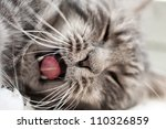 Stock photo yawning grey beautifull home cat 110326859