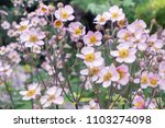 anemone hupehensis. commonly... | Shutterstock . vector #1103274098