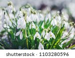 spring snowdrops. a lot of... | Shutterstock . vector #1103280596