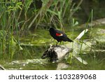 red winged blackbird sitting on ...   Shutterstock . vector #1103289068
