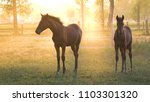 Large And Young Horses Graze In ...