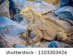 A Santa Fe Land Iguana  A...