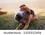 Stock photo fisheye puppy portrait 1103312456