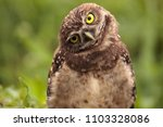 funny burrowing owl athene... | Shutterstock . vector #1103328086