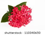 Pink Ixora Flower Isolated On...