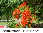 beautiful tropical red flowers. ... | Shutterstock . vector #1103416724