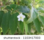 white flower on a garden tree  | Shutterstock . vector #1103417003