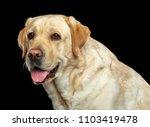 Labrador Retriever Dog On...