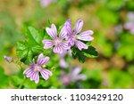 malva sylvestris  mallow plant  ... | Shutterstock . vector #1103429120