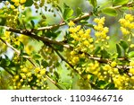 blooming barberry bush close up | Shutterstock . vector #1103466716