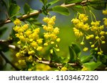 blooming barberry bush close up | Shutterstock . vector #1103467220