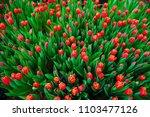 spring scene of tulip field.... | Shutterstock . vector #1103477126