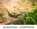 lizard sitting on brown sand...   Shutterstock . vector #1103533346