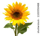 Stock photo flower of sunflower isolated on white background seeds and oil flat lay top view 1103550488