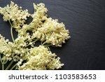 elderberry plant... | Shutterstock . vector #1103583653