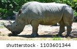 the white rhinoceros or square...   Shutterstock . vector #1103601344