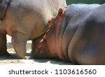 hippopotamus  hippopotamus... | Shutterstock . vector #1103616560