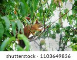 Red Squirrel On A Peach Tree.