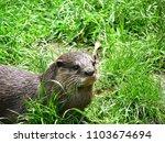 aonyx cinerea   oriental small... | Shutterstock . vector #1103674694