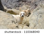 two golden retriever outdoors on rocky beach - stock photo