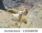two golden retrievers outdoors on rocky beach - stock photo