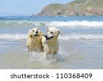 Two Golden Retriever Dogs...
