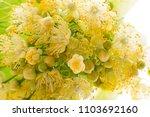 linden flowers  tilia cordata ... | Shutterstock . vector #1103692160