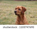 red fox labrador retriever... | Shutterstock . vector #1103747690