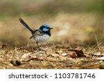 superb fairywren   malurus... | Shutterstock . vector #1103781746