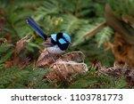 superb fairywren   malurus... | Shutterstock . vector #1103781773
