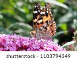 Painted Lady Butterfly  Vaness...