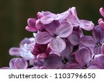 lilac flowers in the spring in... | Shutterstock . vector #1103796650