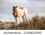 a wild pony foraging on the... | Shutterstock . vector #1103823950