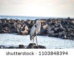 a great blue heron  ardea... | Shutterstock . vector #1103848394