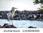 a great blue heron  ardea... | Shutterstock . vector #1103848400