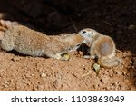 pair of round tailed ground... | Shutterstock . vector #1103863049