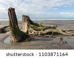 Small photo of Remnants of an ancient totara forest buried about 80,000 years ago by a volcanic lahar, visible at low tide. Waverley Beach, South Taranaki, New Zealand. 2