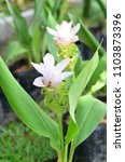krachai flower or siam tulip...   Shutterstock . vector #1103873396